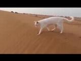А вы знали! Задние лапы кошек всегда становятся туда, куда наступали передние!
