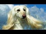 Afghanischer Windhund Rasse - Charakter &amp Wesen