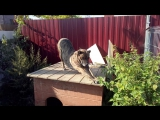 Краткий видео-обзор на собачу