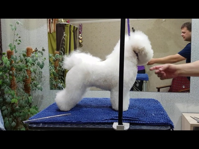 Bichon Frise BETTY, 20 months. Grooming 14.09.2017. Part 2.