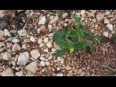 Dzikie warzywa na parkingu w Chorwacji