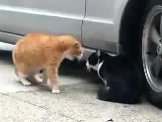 блотные разборки у котов