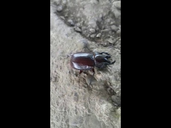 Escarabajo Rinoceronte Costa Rica