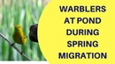 Spring Migrating Warblers Visit Pond May 2018