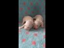 Два щенка БИШОН ФРИЗЕ, д.р. 1 октября 2018. ПРОДАЮТСЯ