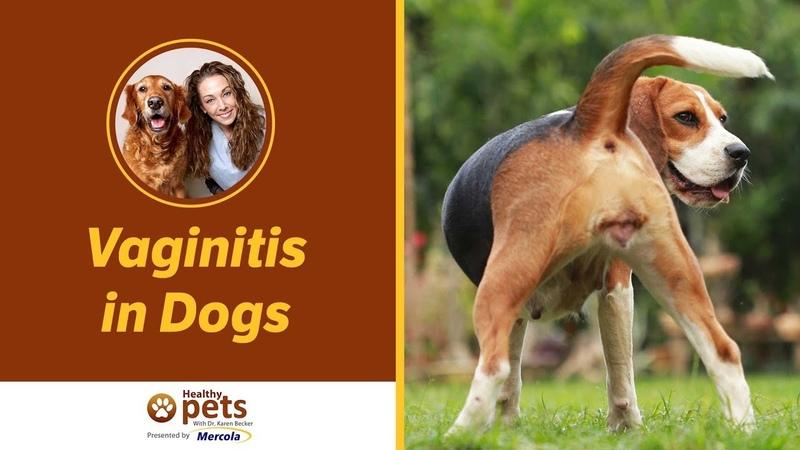 Причины и диагностика вагинита у собак Causes and Diagnosis of Vaginitis in Dogs