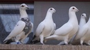 My Colored Homer Pigeons Blue Grizzle 2 4 2018 CZE