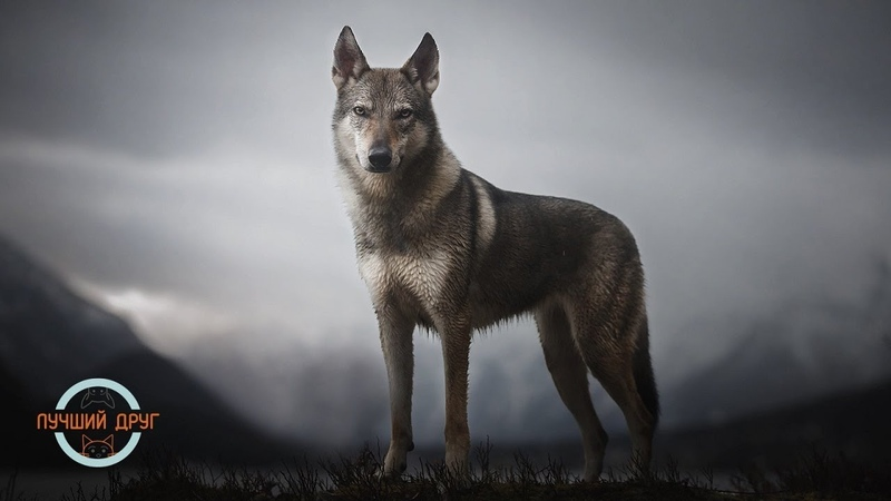 Лучший друг. Выпуск 14. Чешский влчак (Волчак, чехословацкая волчья собака)
