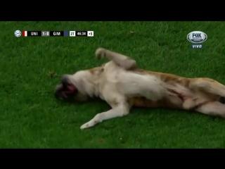 Одна абсолютно счастливая собака. Пес выбежал на футбольное поле и едва не сорвал матч, но все остались довольны