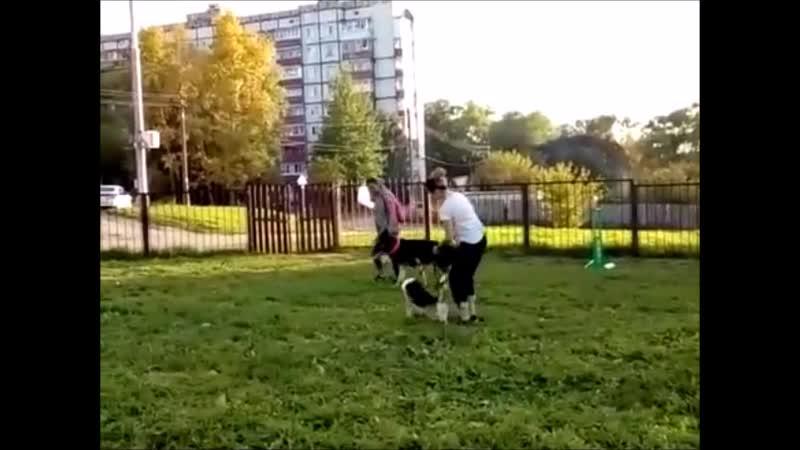 Ромео метис вельш корги 1 год Отсутствие социализации привело собаку к состоянию агрессии