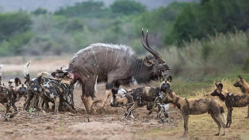 Đoàn Quân M ng Cổ chó hoang kh t tiếng đi tới đâu sinh vật lầm than đến đấy Vua Sư Tử chỉ là muỗi