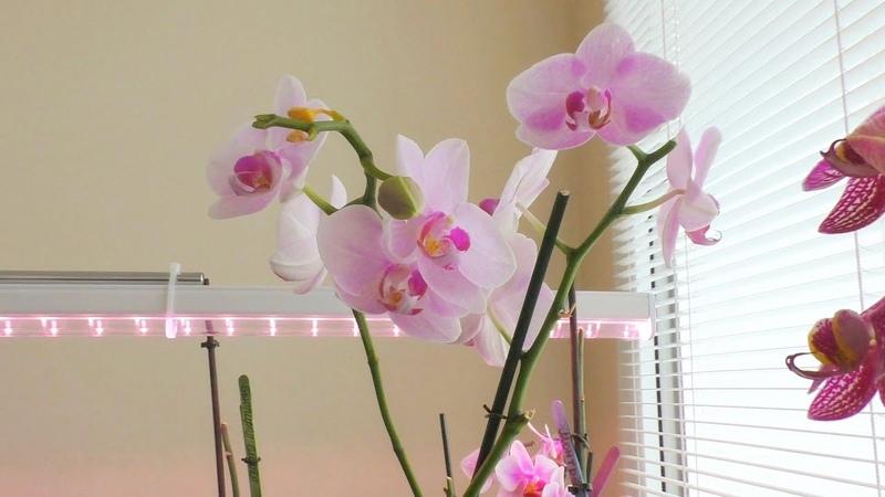 Орхидеи Путь к красоте Ч 3 Мучнистый червец атаковал мою коллекцию Немного о подсветке