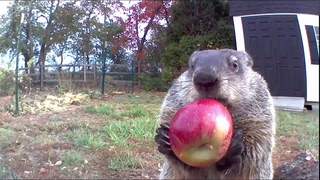 An Apple a Day for Chunk. #ASMR #chunkthegroundhog
