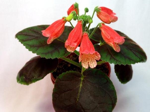 Смитианта Растение рода смитианта имеет прямое отношение к семейству геснериевых. Данный род объединяет примерено 8 видов растений. Встречаются источники, в которых данное растение именуют