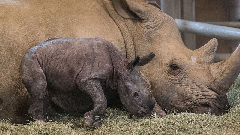 Historic Birth of Southern White Rhino Conceived Through Artificial Insemination