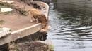 Smart Lion falls into water FUNNY Löwe fällt ins Wasser
