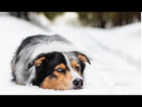 Australian Shepherd Videos Compilation - Funny Cute Australian Shepherd Puppies and Dogs Playing.