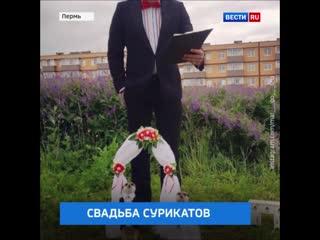 Да что вы знаете о необычных свадьбах! В Перми вот поженились сурикаты!