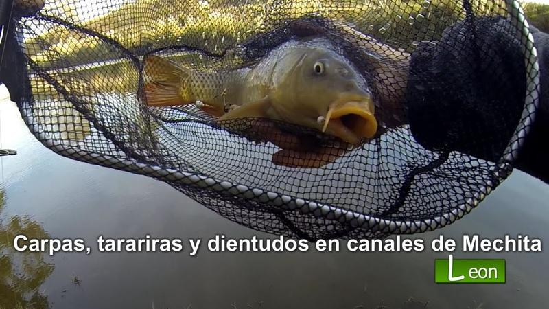 Carpas tarariras y dientudos en canales de Mechita 🐟COMO PESCAR 🐟 Leon Pesca