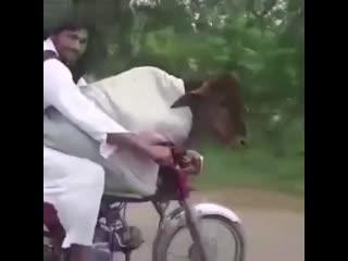 Контрабанда коровы из Индии в Пакистан..