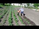 Мотоблок Как правильно окучивать картофель мотоблоком