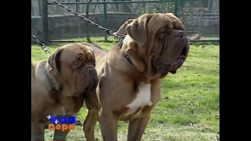Собаки Охранные Бордоский дог