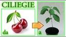 Come ottenere un ciliegio dagli scarti del frutto a costo zero cherry tree cerezo cerisier