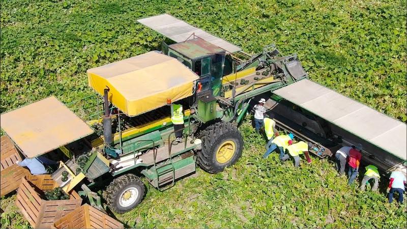 New Zealand, North Island Farming Compilation | Pumpkin - Squash - Kiwi's and Maize [Dronly]