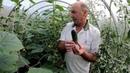 Супер УРОЖАЙНЫЙ сорт огурцов.Этих огурцов ВСЕГДА Много.Выращивание помидор 2020. ЛУЧШИЙ НАШ сорт.