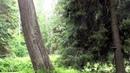 2 часа Живой лес Наполненный звуками природы Пение лесных птиц