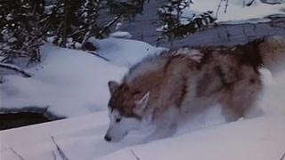 Дикий пес Севера (Никки, дикий пес Севера) (Nikki, Wild Dog of the North) 1961