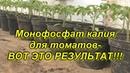 Рассада томатов монофосфат калия= приземистые растения