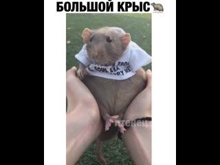 Самая милая крыска