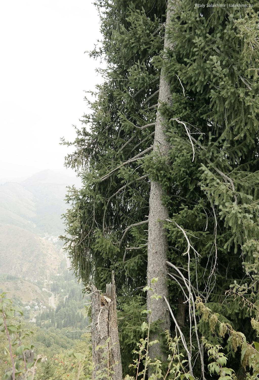 Половинчатая ель по дороге на Кок-Жайляу, маршрут 2019