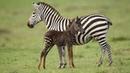 Rare Spotted Zebra Foal