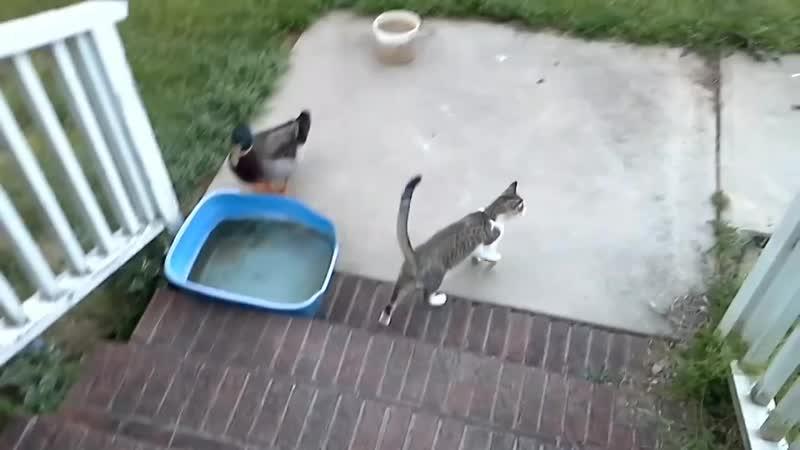 В первый раз вижу, как играет утка с кошкой! Действительно необычно