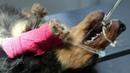 Один щенок очень большой. Кесарево сечение у таксы / A single pup is very big. Will it die if the Dachshund cannot give birth naturally?