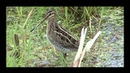 Звуки природы. Голоса птиц. Бекас. Snipe. (Gallinago gallinago)