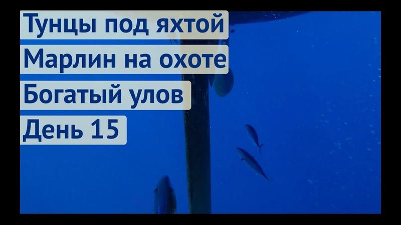 Тунцы под яхтой. Марлин на охоте. Поймали Махи Махи   Трансатлантика день 15