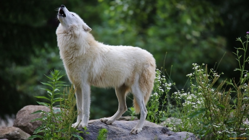 Wolf Legendary Outlaw BBC Wildlife Specials Eng Subs
