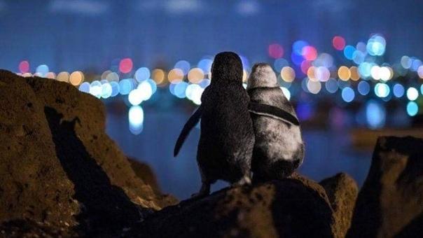 НеПравильные пингвины Снимок, получивший премию: овдовевшие пингвины держатся вместе Снимок двух овдовевших пингвинов, как будто утешающих друг друга, стал победителем премии Ocean Photograph