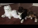 Реакции кошек на кота-робота Смешное видео кот