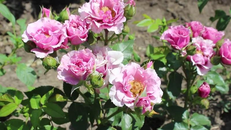 Наши красавицы розы