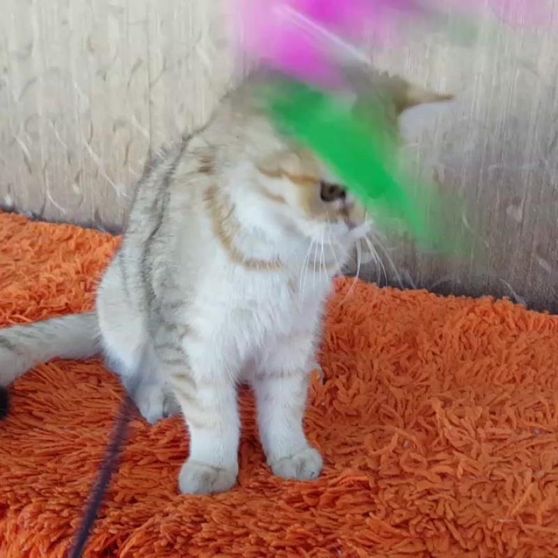продается британская кошка золотая шиншилла