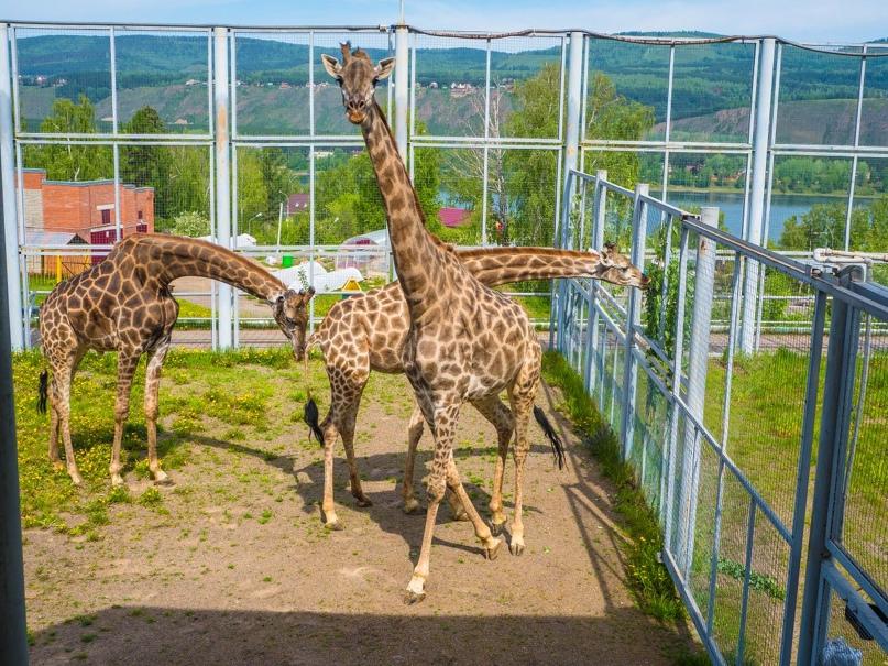 Жирафы в «Роев ручей»