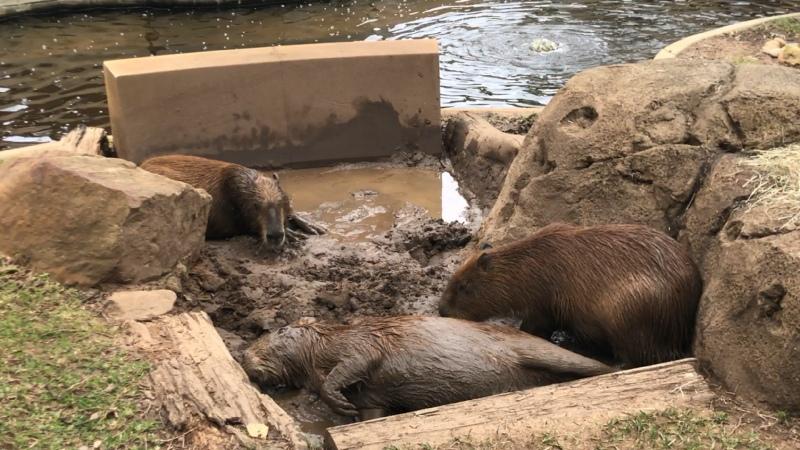 Капибары в Taronga Zoo Sydney