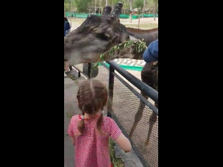 Вероника кормит жирафика