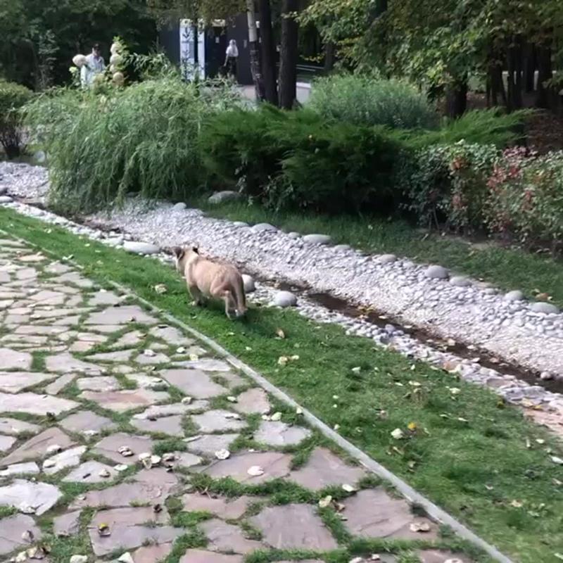 Маленький львенок без ошейника гуляет по Лазутинке