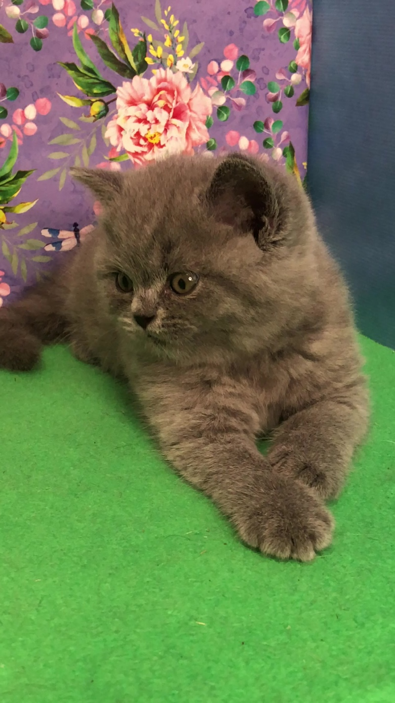 Британский котёнок. Голубой окрас. Продаётся