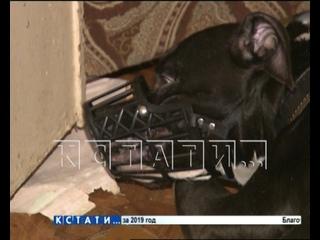 Бойцовый пес в Дзержинске взял в заложники своих хозяев